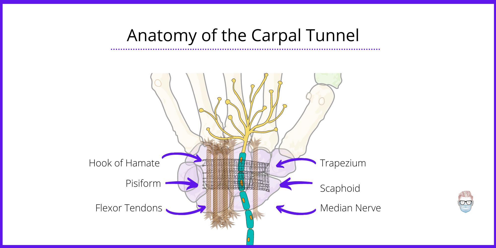 Anatomy of the Carpal Tunnel in relation to median nerve and 9 flexor tendons travelling though an osseous-fibrous structure in the wrist