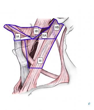 Levels II and III along the sternocleidomastoid muscle