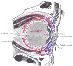 Orbital Septum