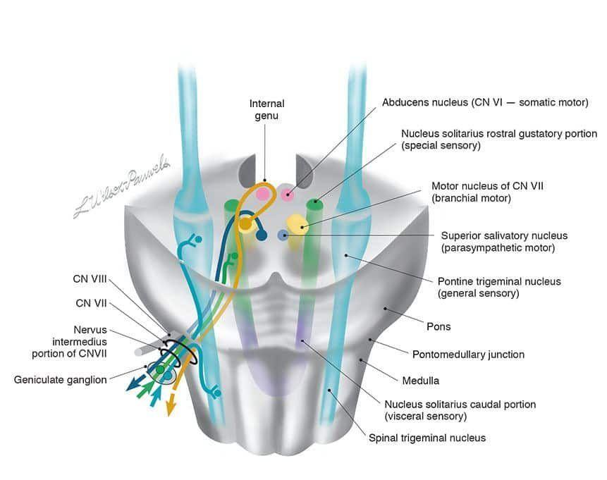 Origin and Anatomy of the Facial Nerve Proper and Nervus Intermedius in the Brain Stem