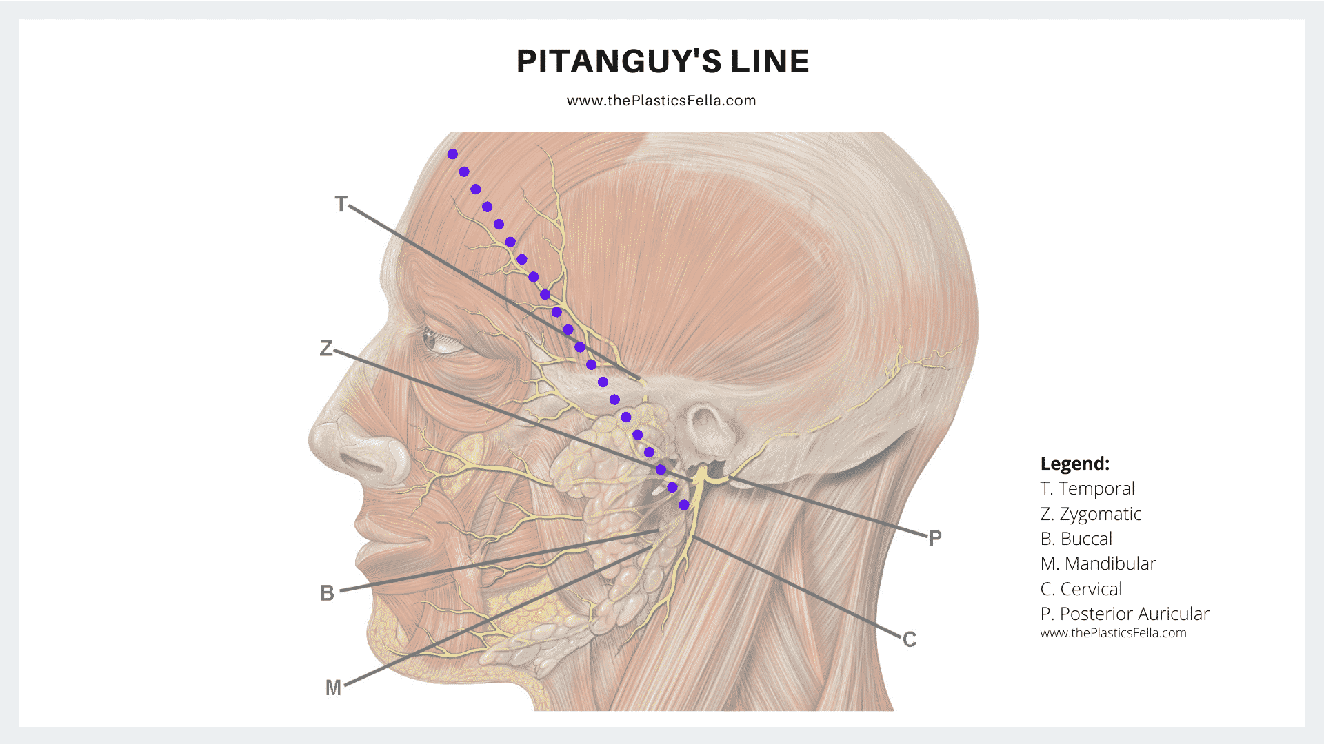 Location of Pitanguy's Line of the Facial Nerve