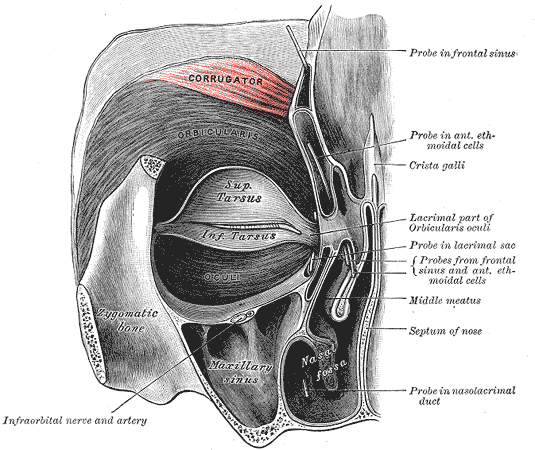 Muscles innervasted by the frontal/temporal branch of the facial nerve