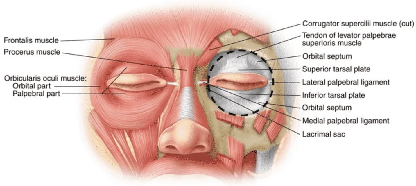 Orbital, Pre-Septal, Pre-Tarsal parts to Orbicularis Oculi Muscle