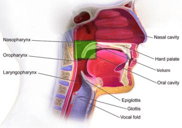 Anatomy of the velopharyngeal port/orofice