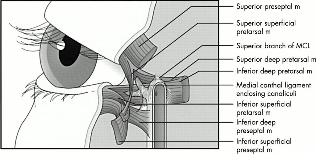 Insertion of the Orbicularis Oculi Muscle into Medial Canthal Tendon
