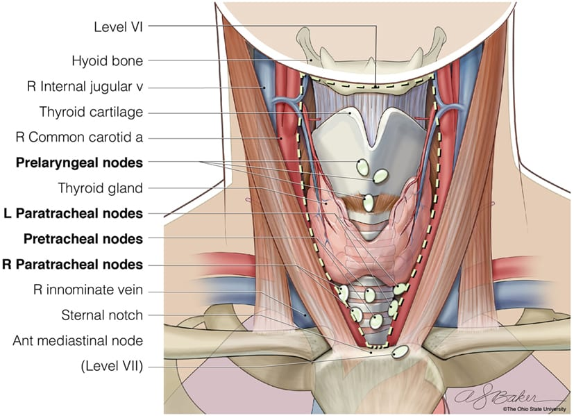 Level III Cervical Nodes and nearby muscle bellies.