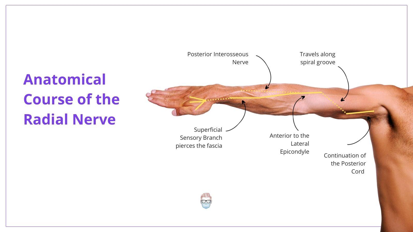 Radial Nerve, Radial Nerve Palsy, Radial Nerve Anatomy, Radial Nerve Course, Radial Never Pathway, Radial Nerve Branches, Radial Never Innervation, Radial Nerve Sensation